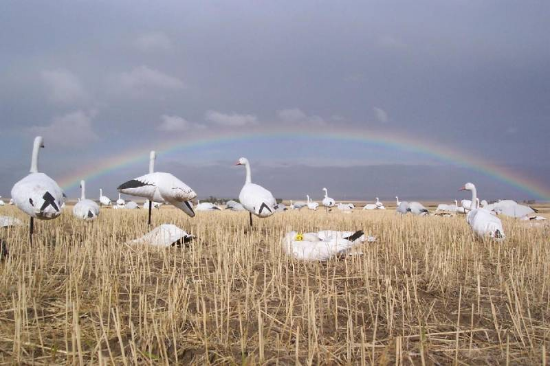 Guided Spring Snow goose hunt in South Dakota - Rainbow over a decoy spread » Click to zoom ->